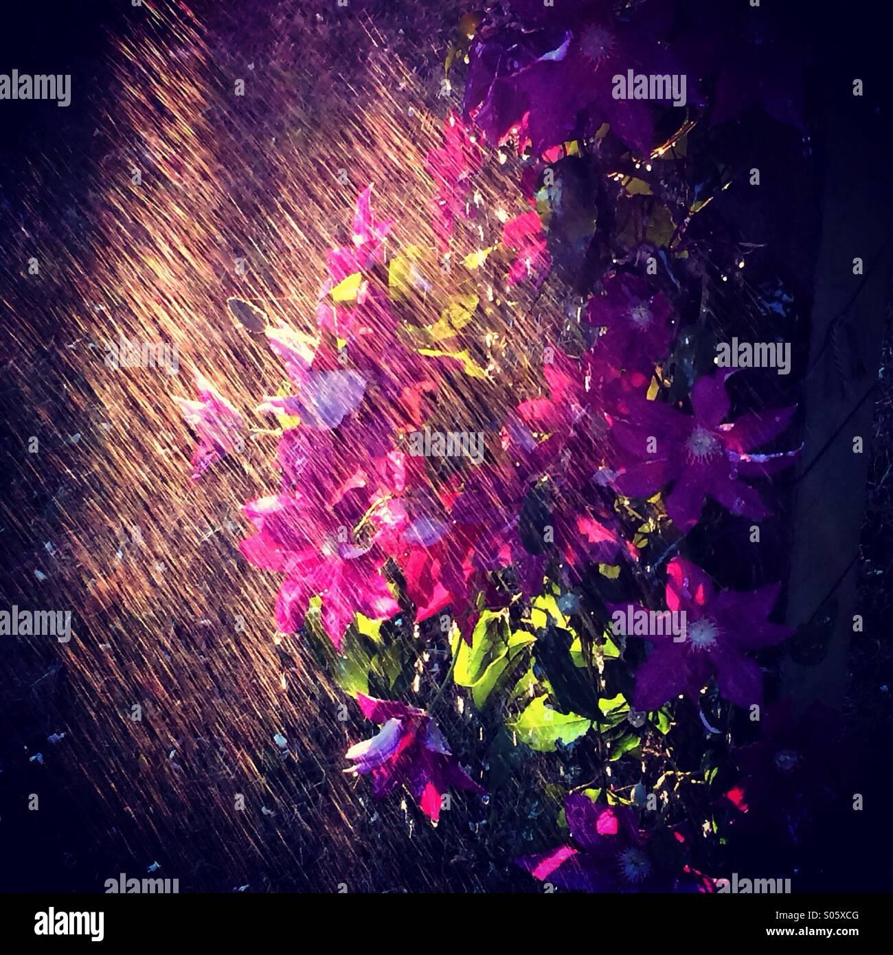 Clematis en la lluvia! Imagen De Stock