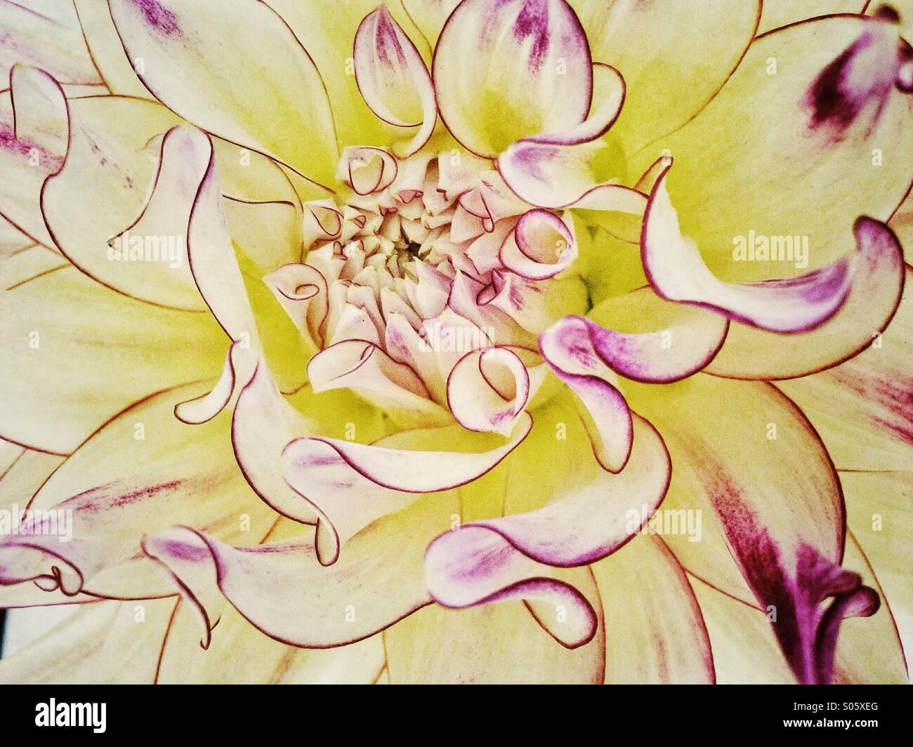 Amarillo y rosa flor. Imagen De Stock