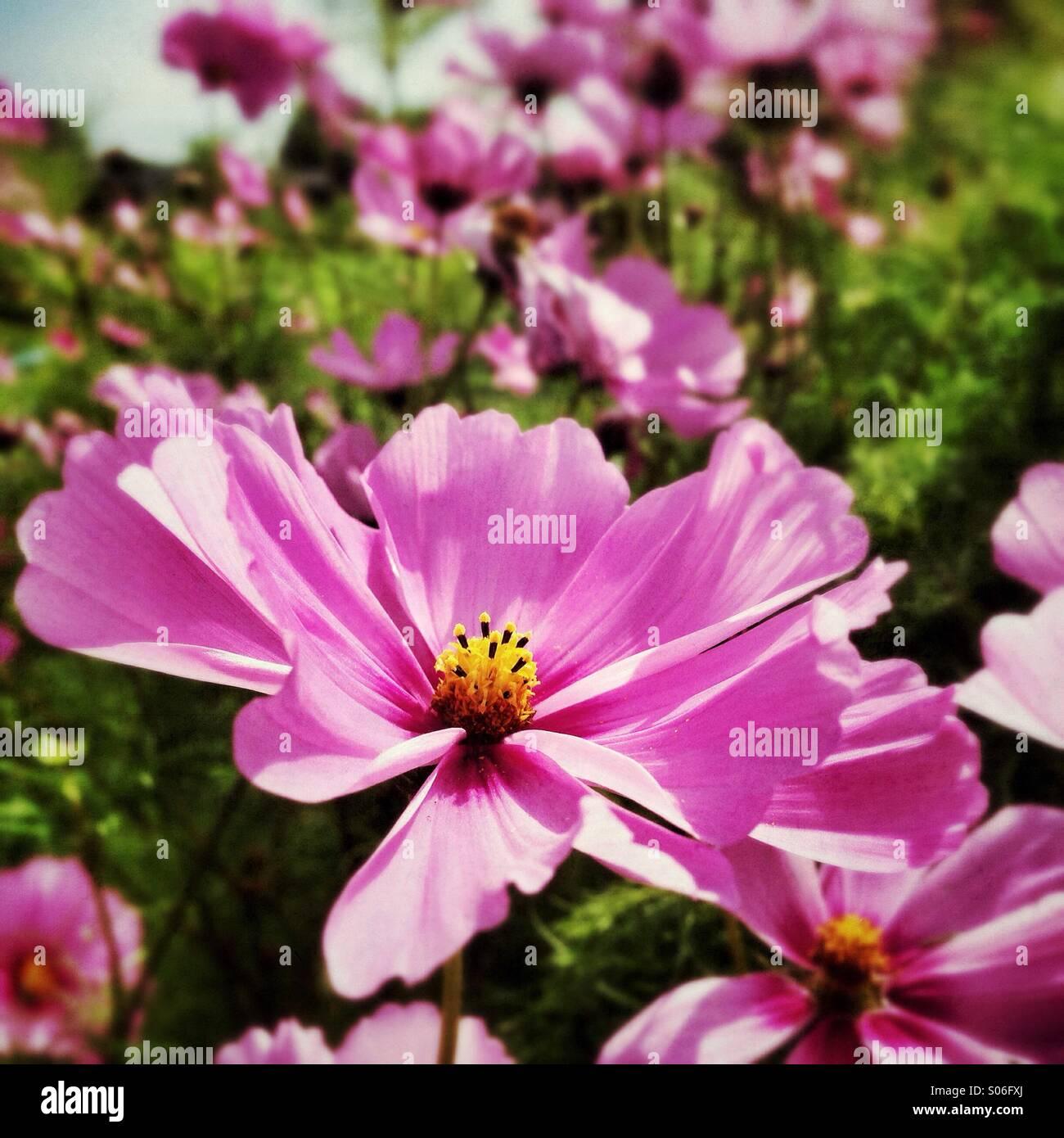Cosmos, Rosa Margarita Flores de verano Imagen De Stock