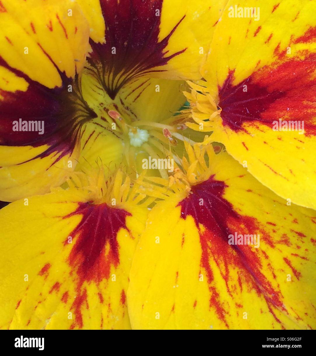 Salpicaduras de color amarillo y rojo de Nasturtium Imagen De Stock
