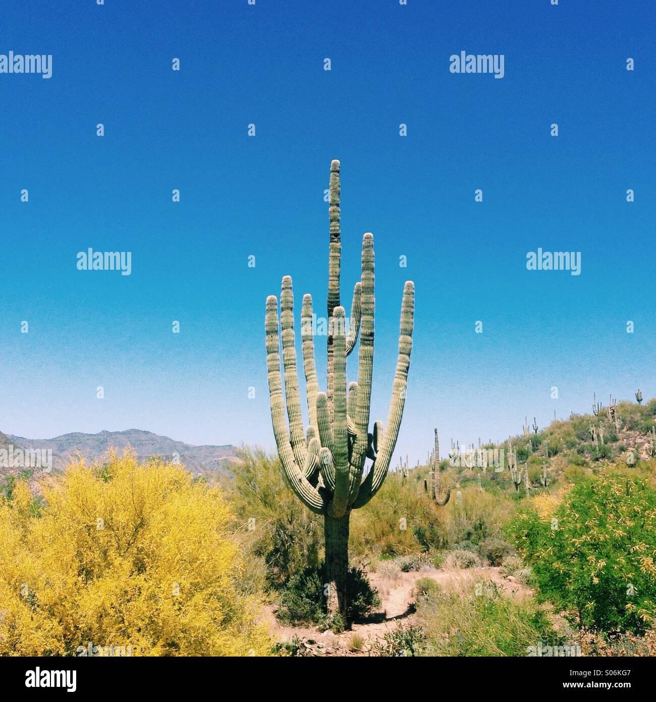 Cactus de Arizona Imagen De Stock