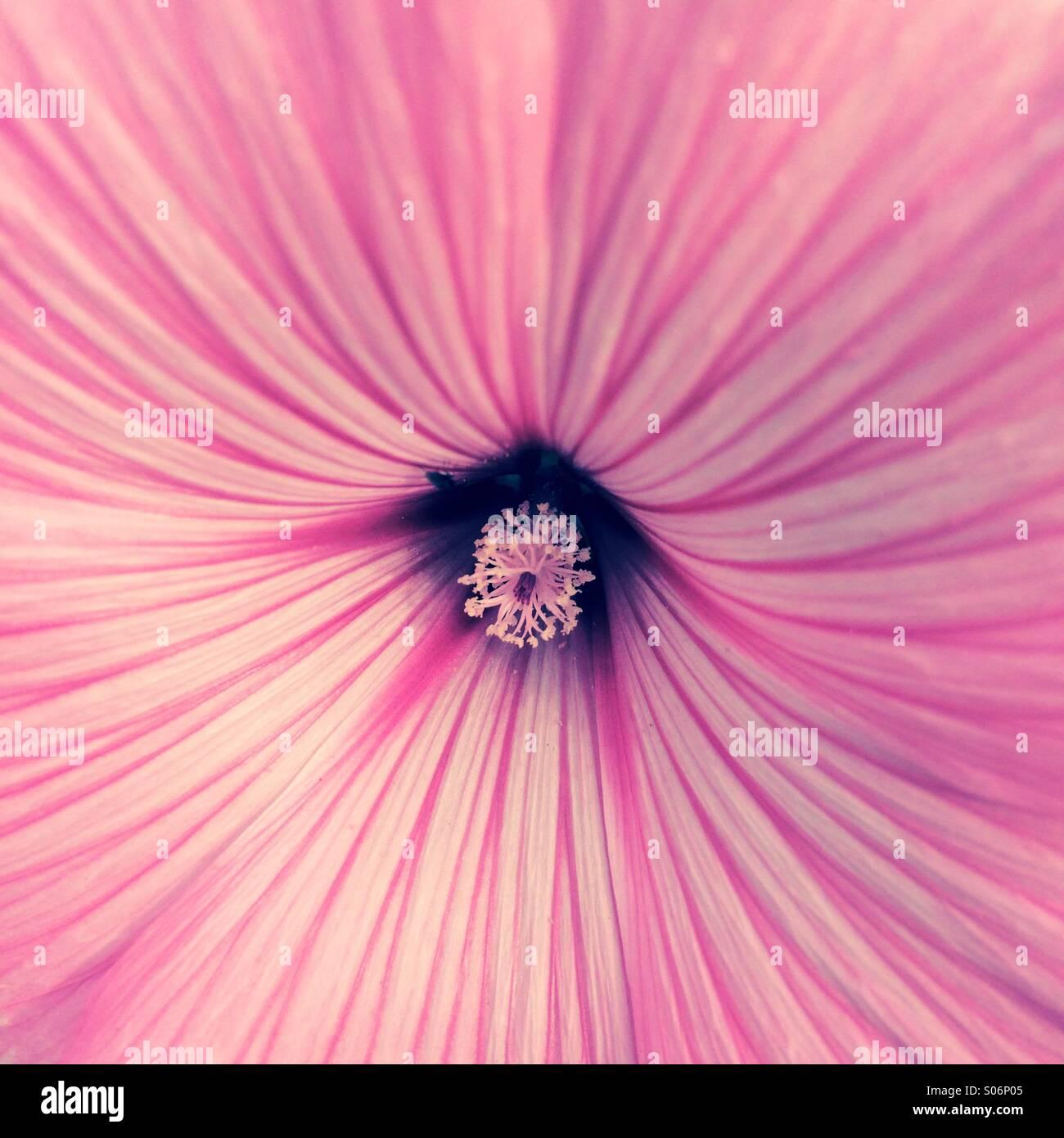 Close-up de flor rosa mostrando extensión de pétalos y estambres centro Imagen De Stock