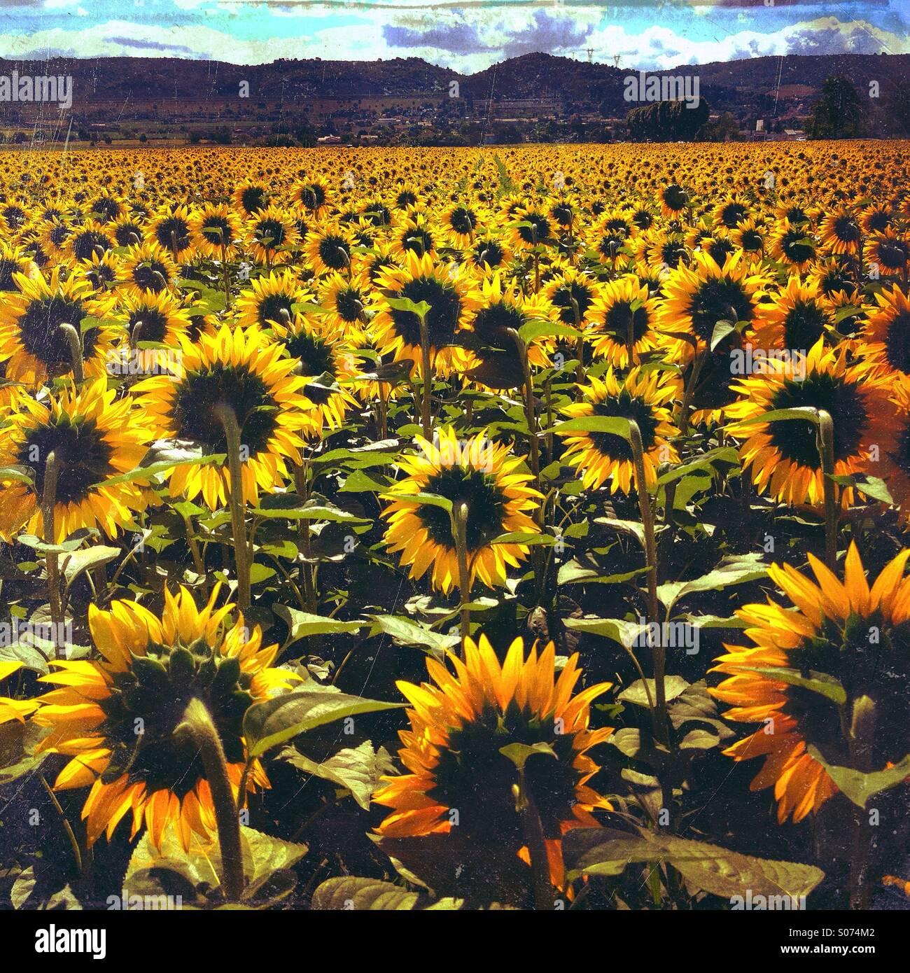 Campo de girasoles amarillos gigantes en flor en verano, Oraison Alpes-de-Haute-Provence, Provence-Alpes-Côte-d'Azur, Foto de stock