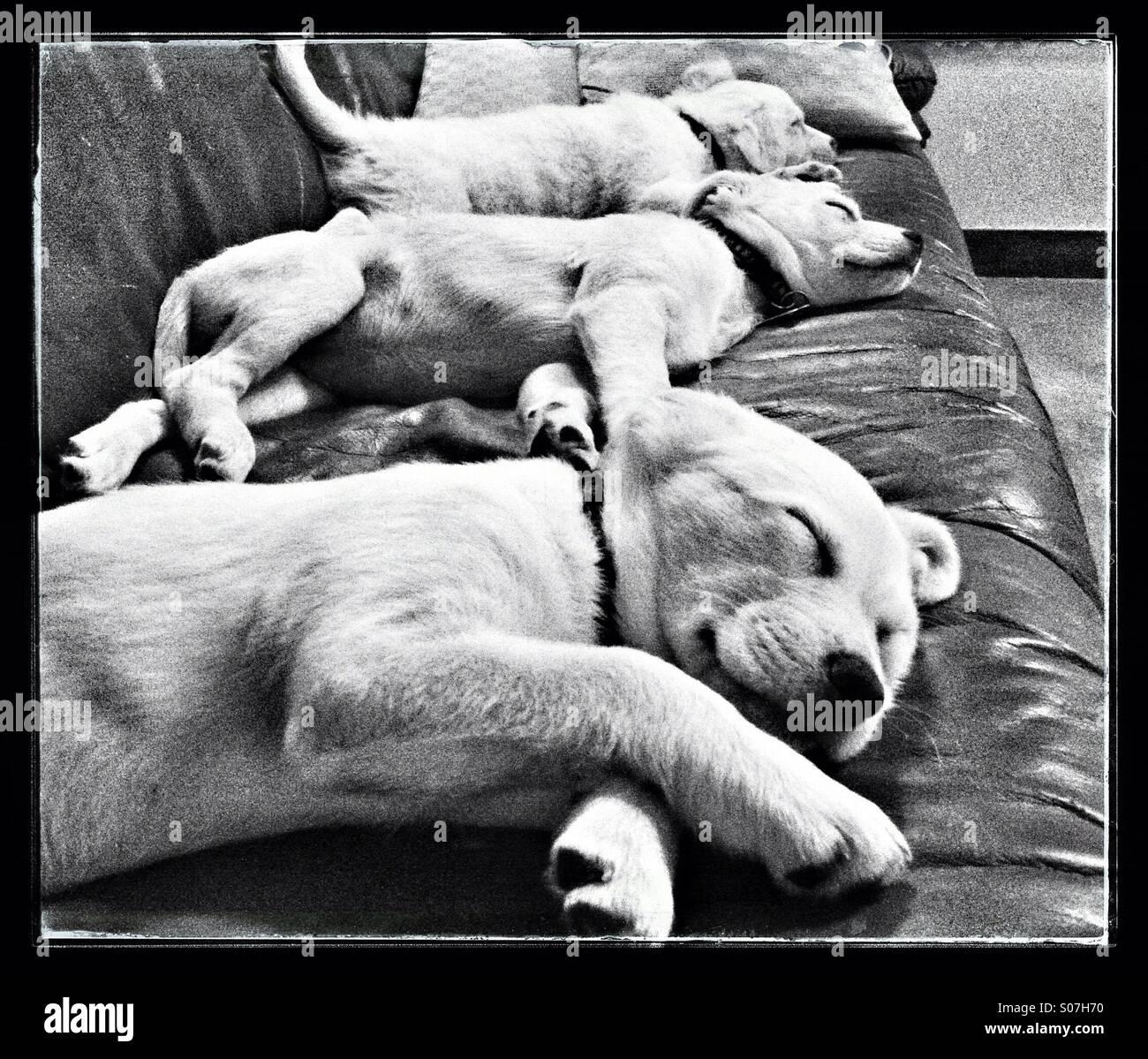 Fuera Tuckered cachorros a la hora de la siesta. Imagen De Stock