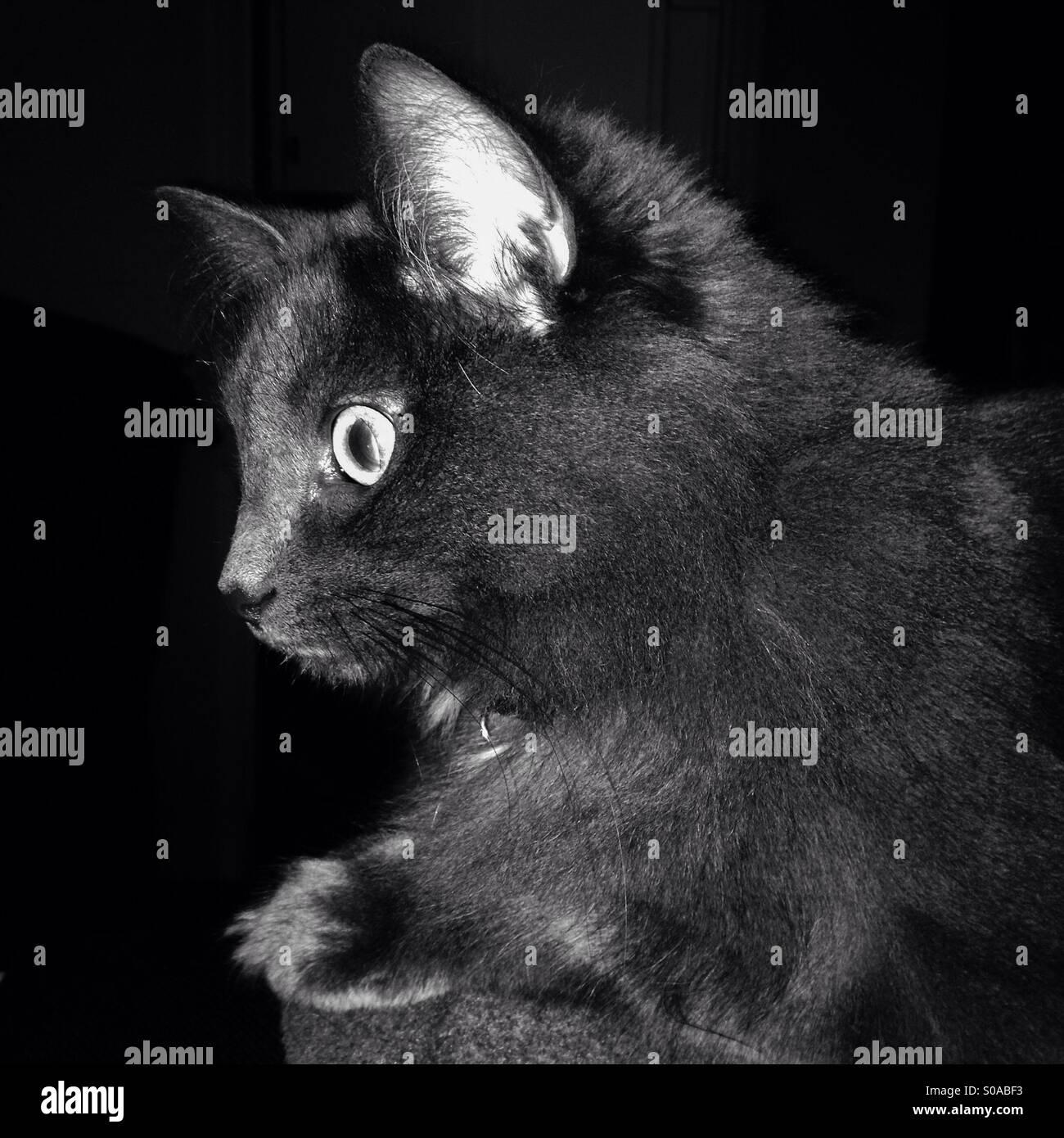 Gris de pelo largo gato doméstico. Imagen De Stock