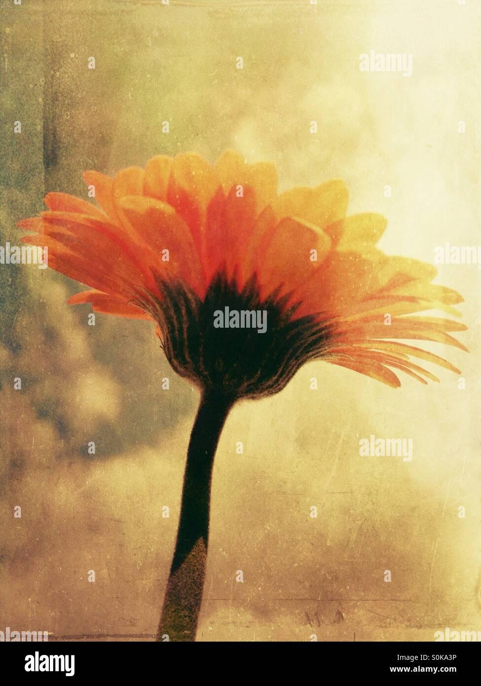 Gerbera flor con fondo del cielo Foto de stock