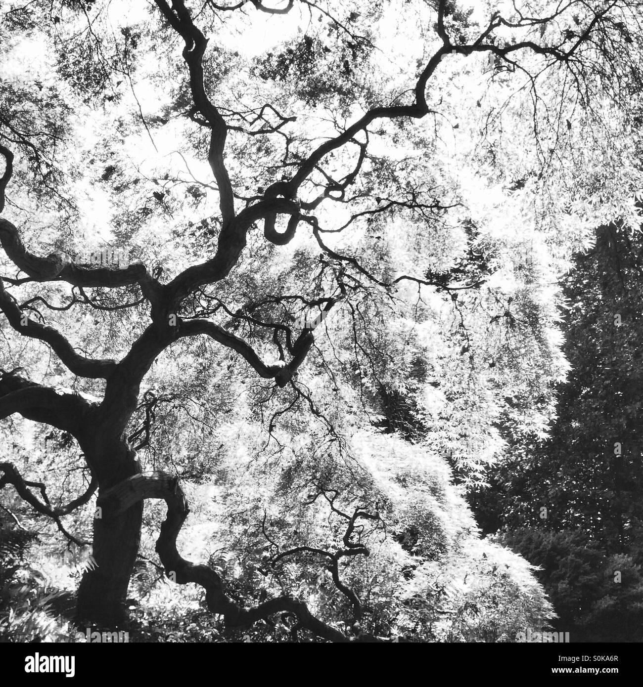 Árbol Gnarly en blanco y negro Imagen De Stock