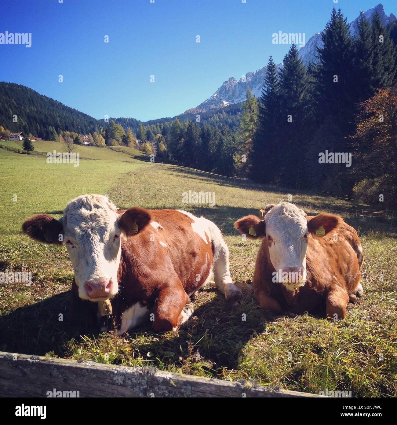 Dos vacas de Tirol del Sur, Italia Foto de stock
