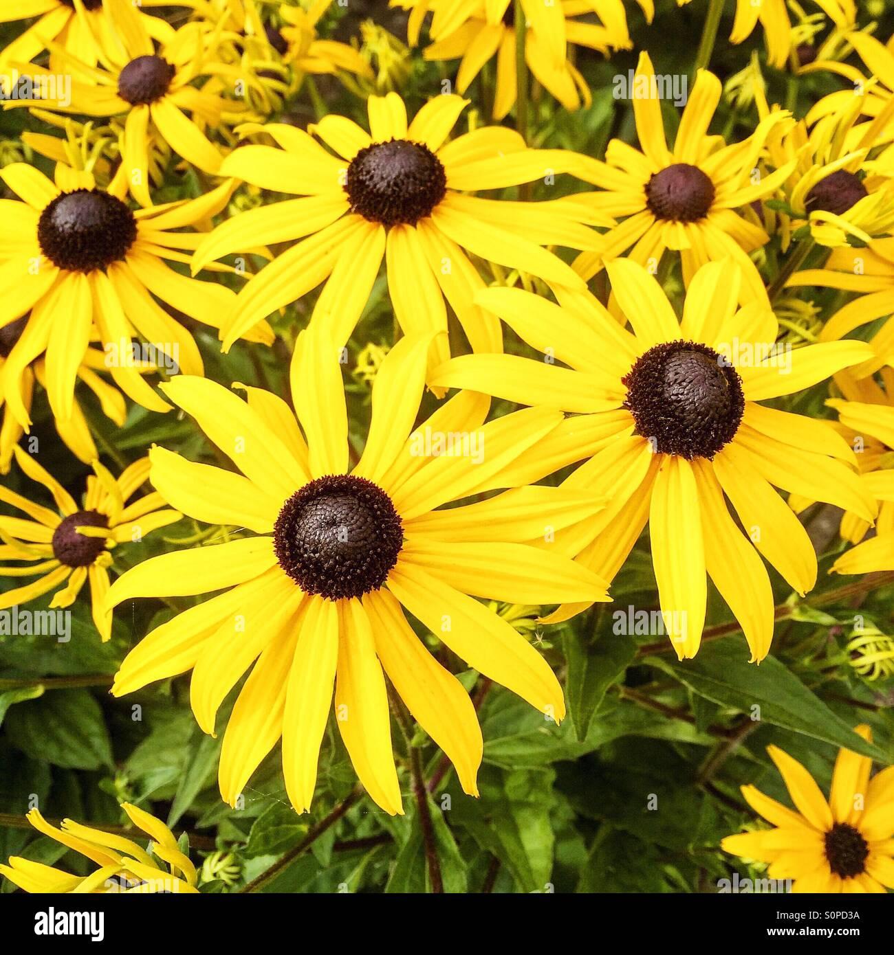 Rudbeckia flores amarillas Foto de stock