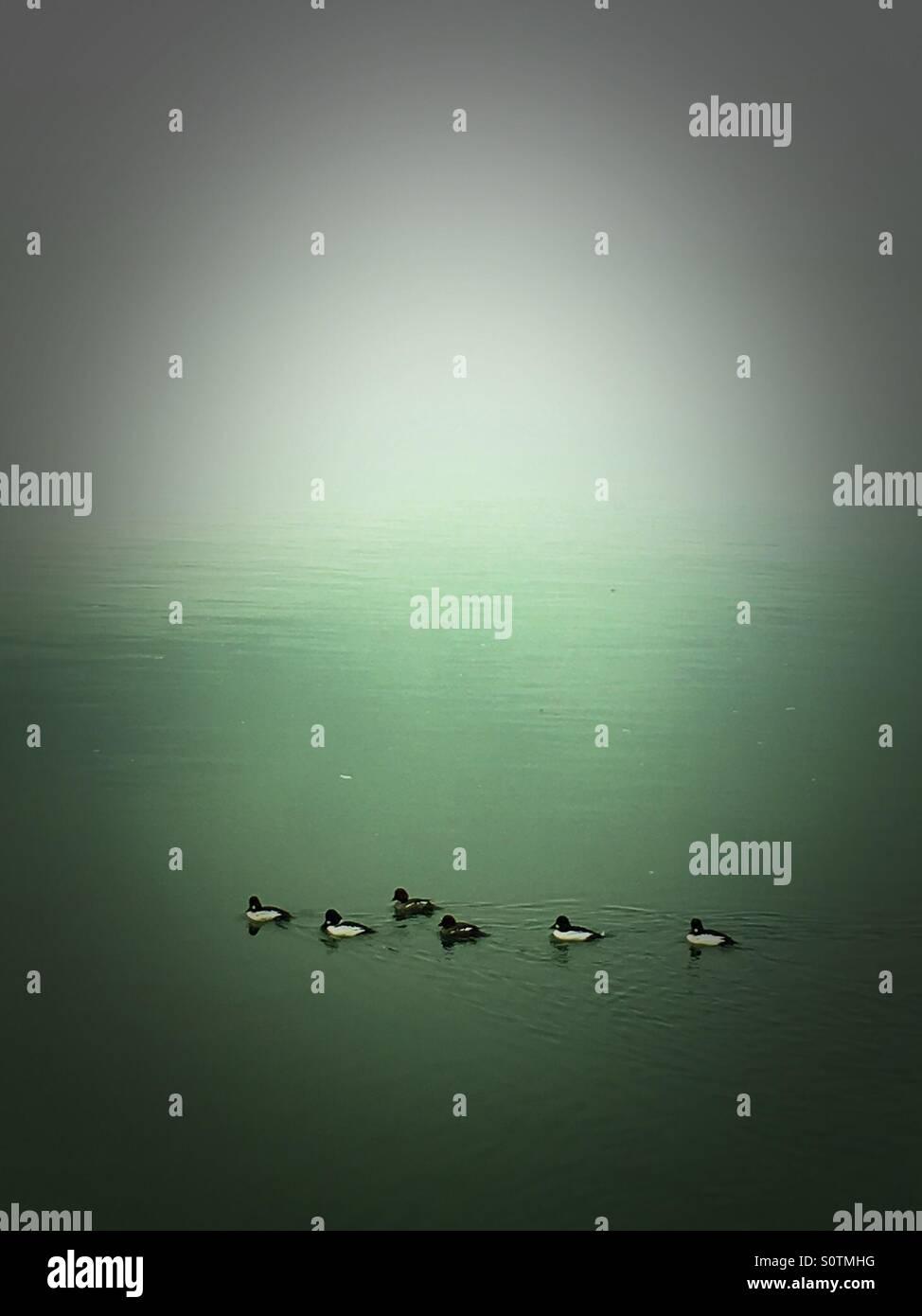 Patos en la niebla Imagen De Stock