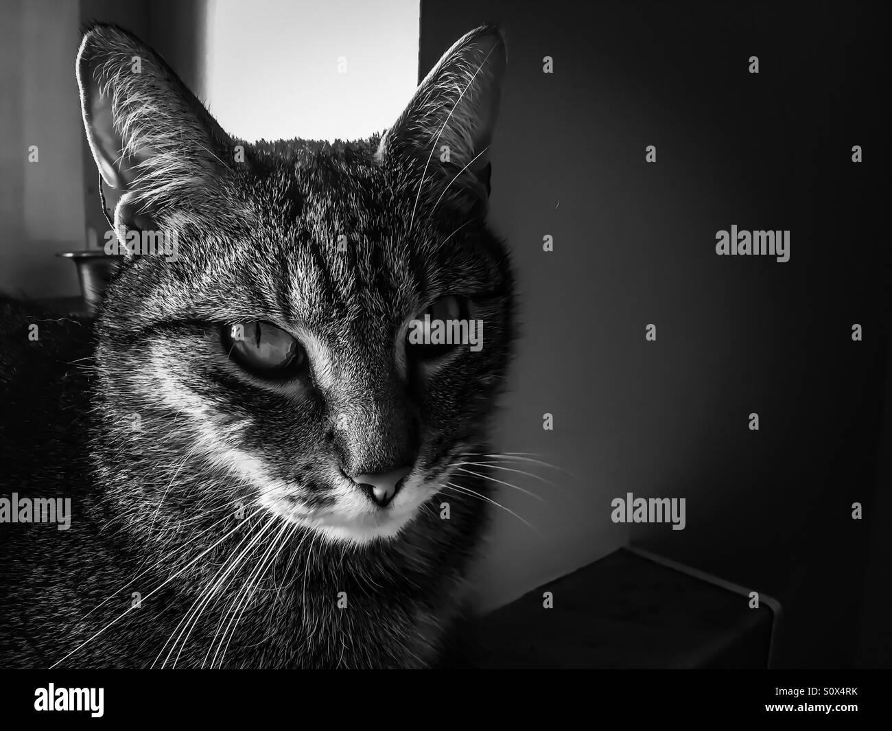Gato Gris en fondo blanco-negro Imagen De Stock