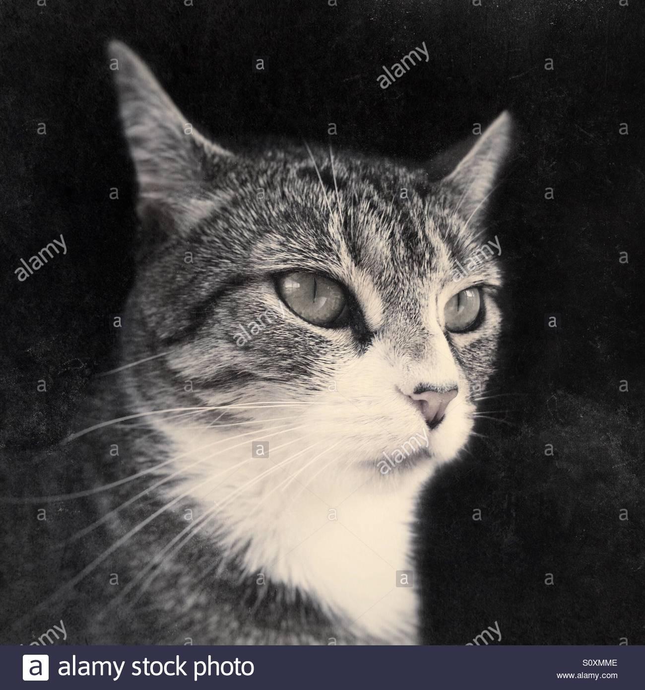 Monocromo Retrato Cat Imagen De Stock