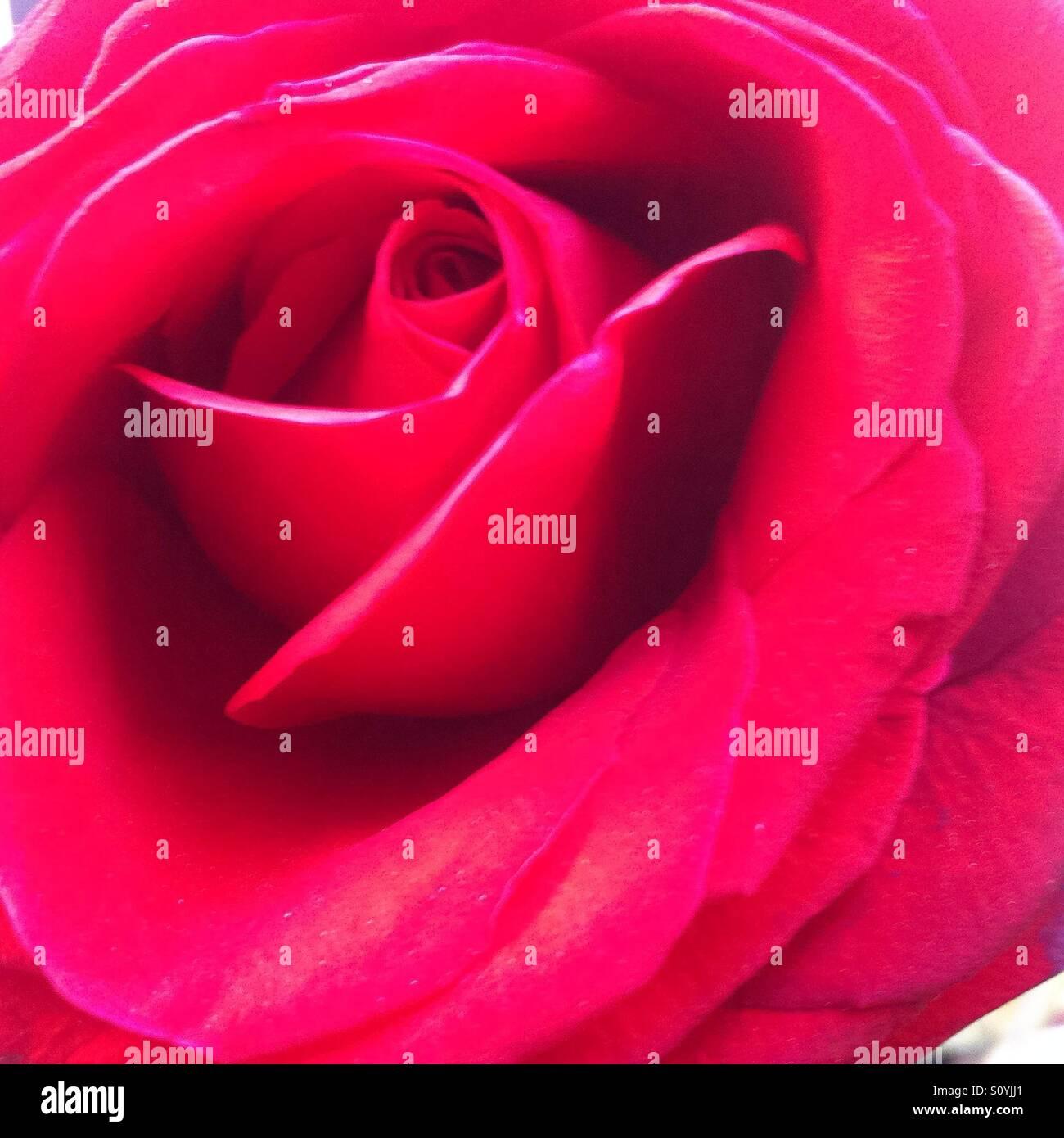 Rosa Imagen De Stock