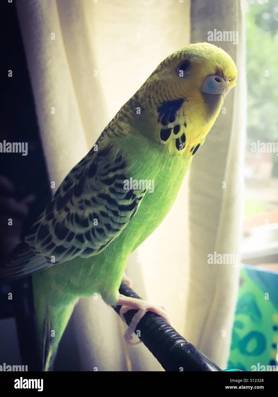 Un budgie pet verde y amarillo. Imagen De Stock