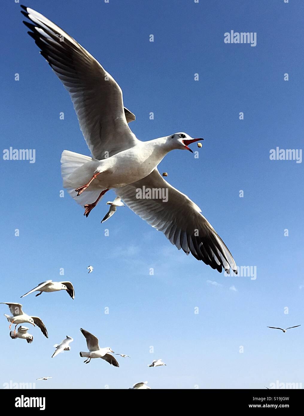 Las gaviotas intentando capturar sus alimentos Foto de stock
