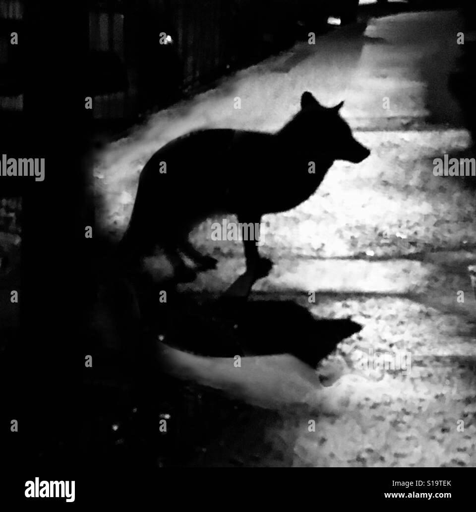 British, Urban fox atrapados en la luna Foto de stock