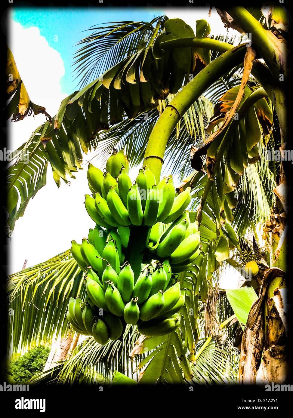 Plátano Foto de stock