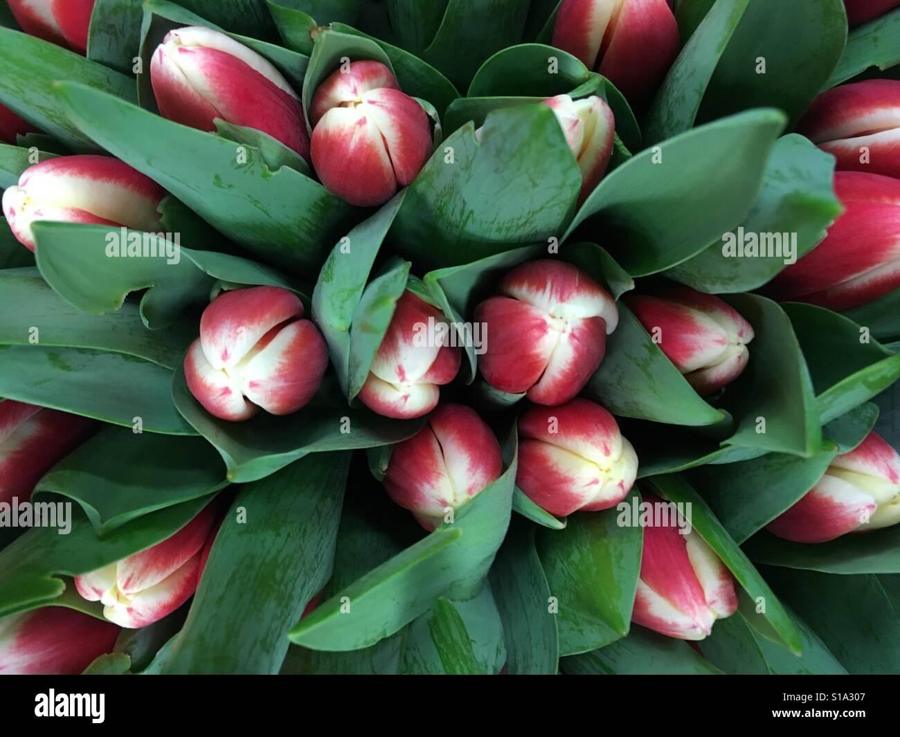 Ramo de tulipanes rojos y blancos Foto de stock
