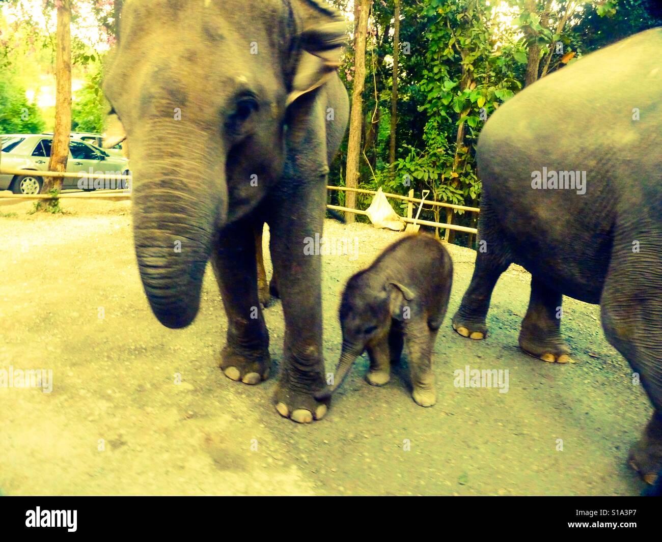 Los elefantes safaris en familia Foto de stock