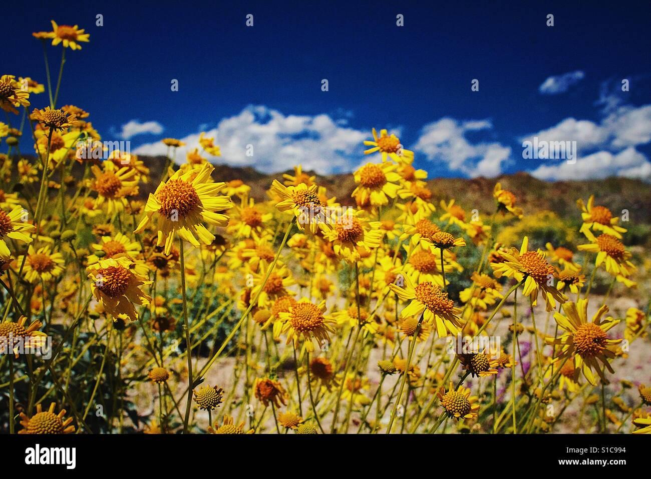 Super bloom en el desierto Foto de stock