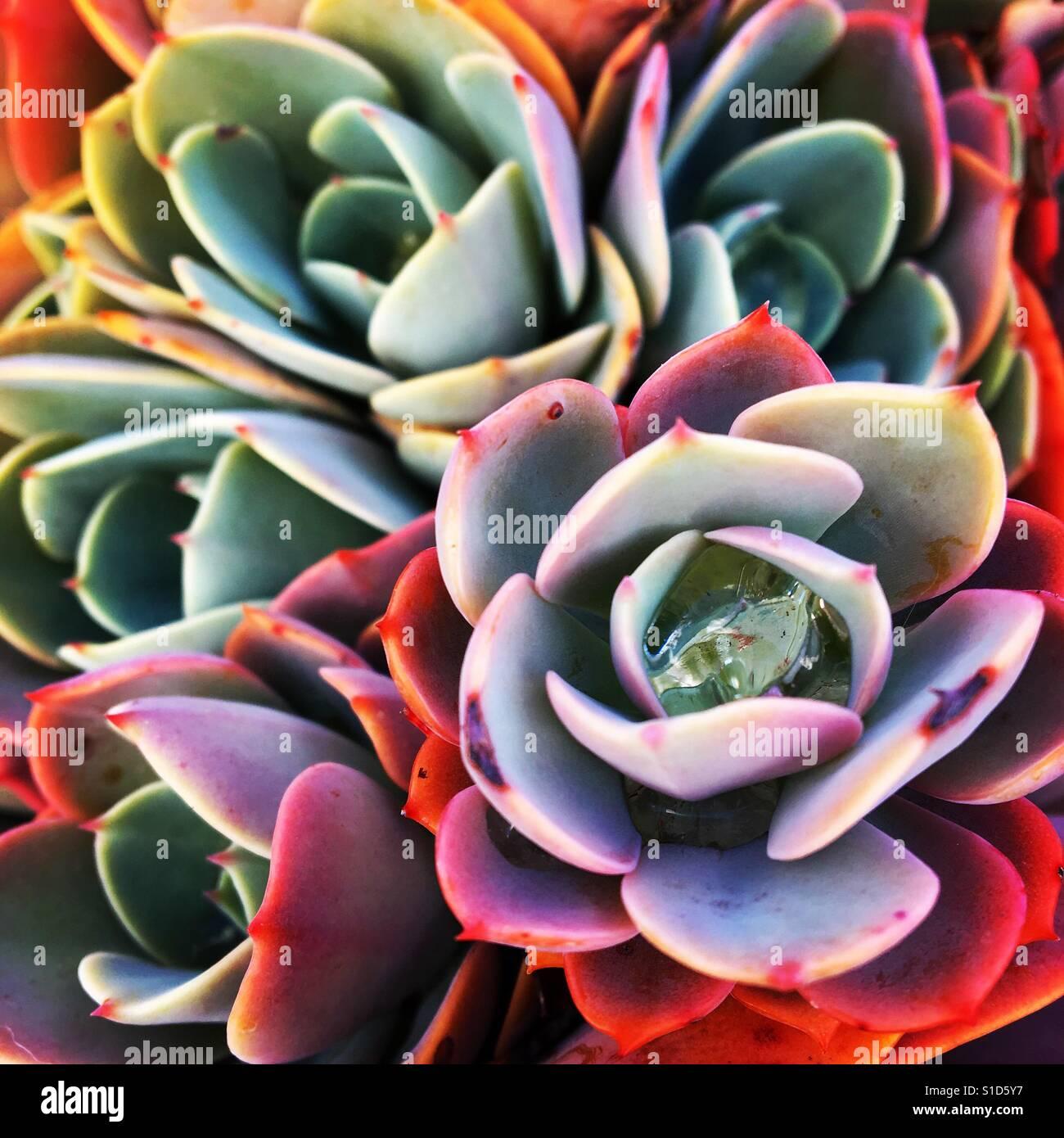 Las plantas suculentas Foto de stock