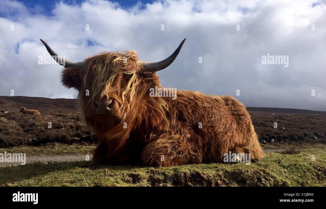 Scottish Highland vaca en Escocia Foto de stock