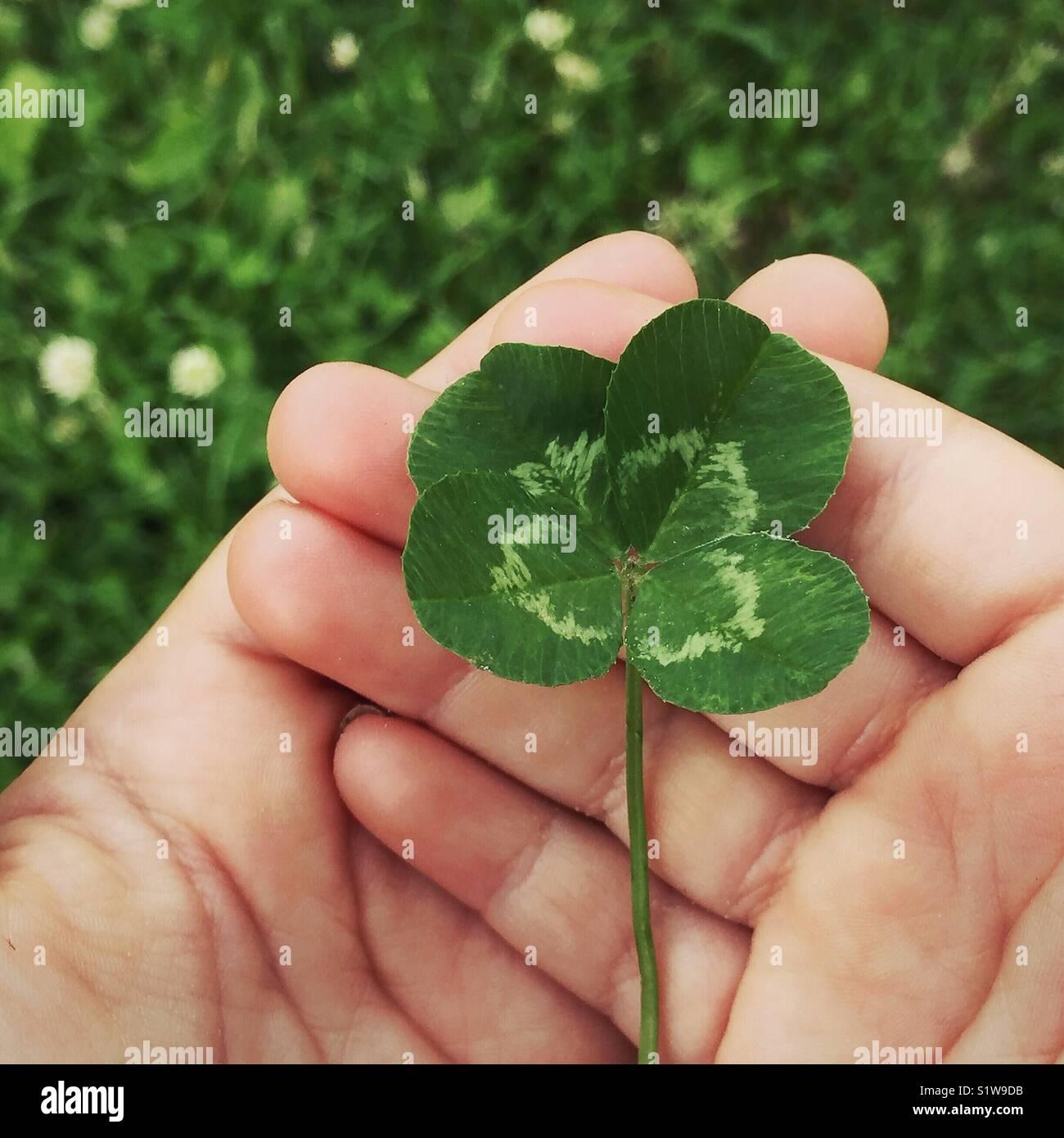 Las manos del niño sosteniendo un trébol de cuatro hojas Imagen De Stock