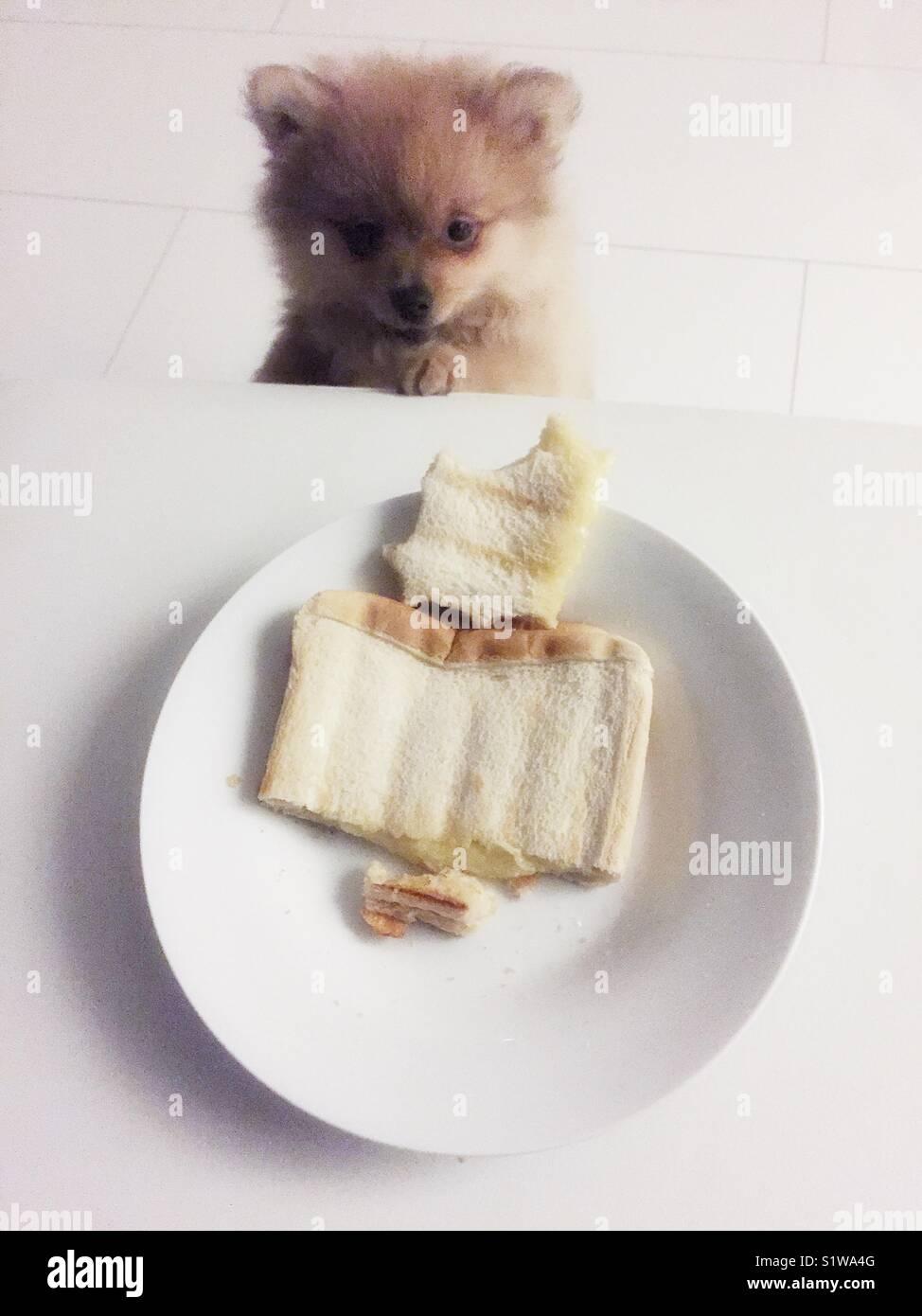 Cachorro Pomaranion mirando la placa de sandwich toastie Imagen De Stock