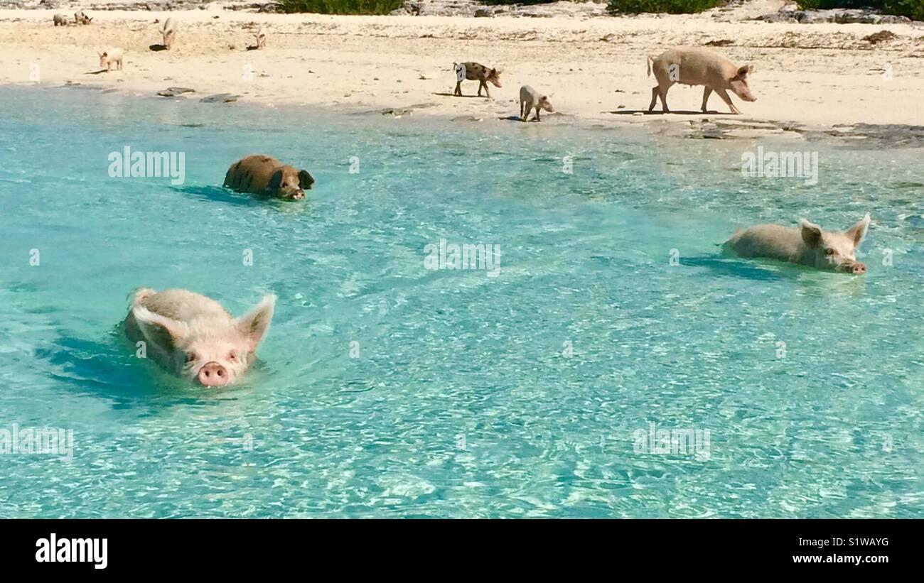 Muchos de los cerdos en la isla en las Bahamas de cerdo Imagen De Stock
