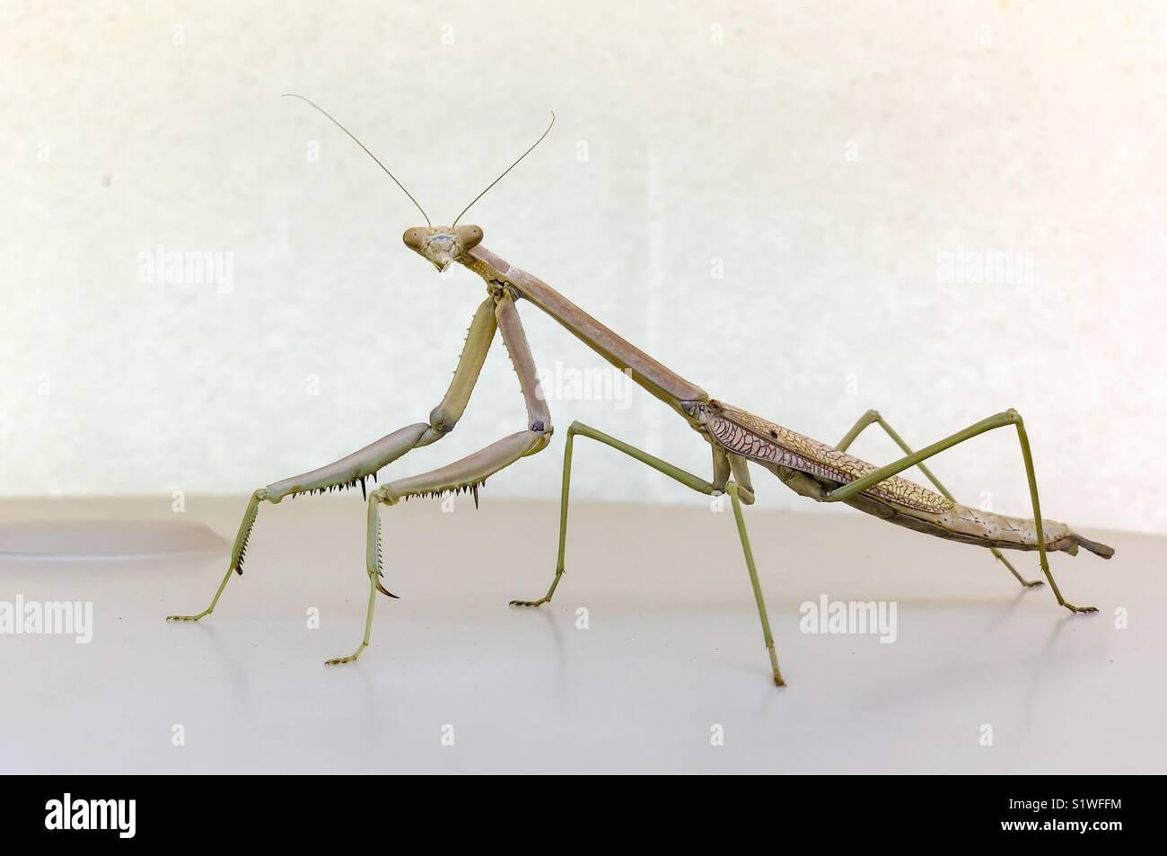 Retrato de un gran Mantis. Foto de stock
