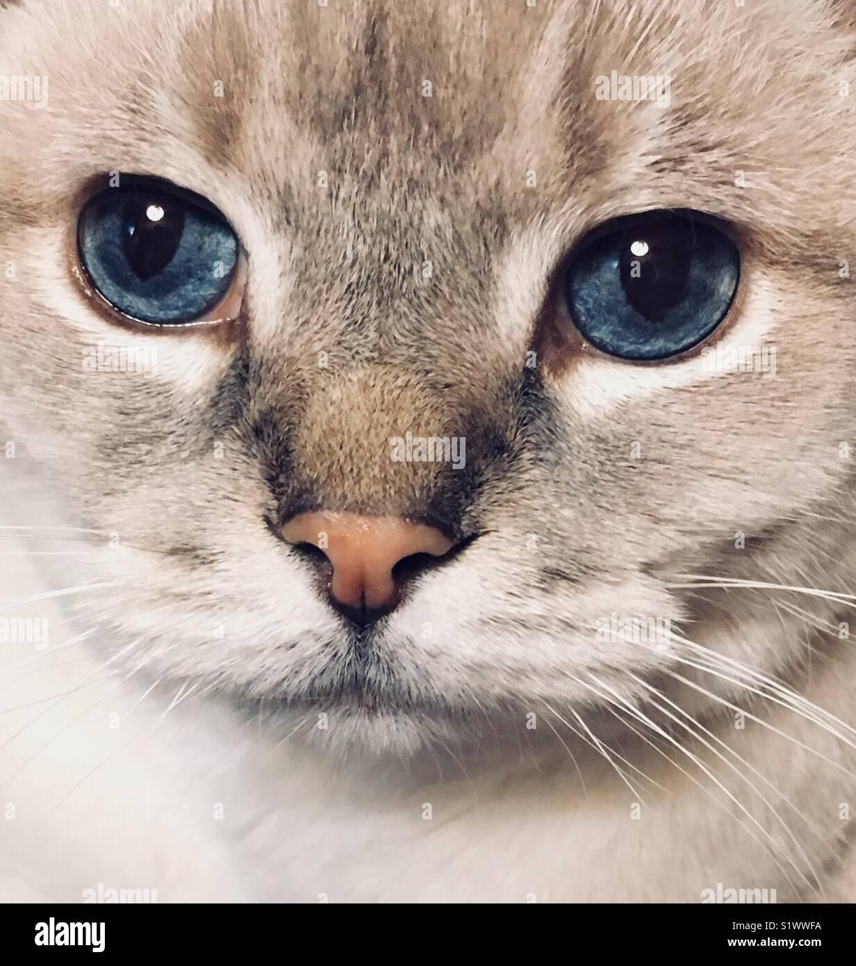 Lynx Point gato siamés retrato Imagen De Stock