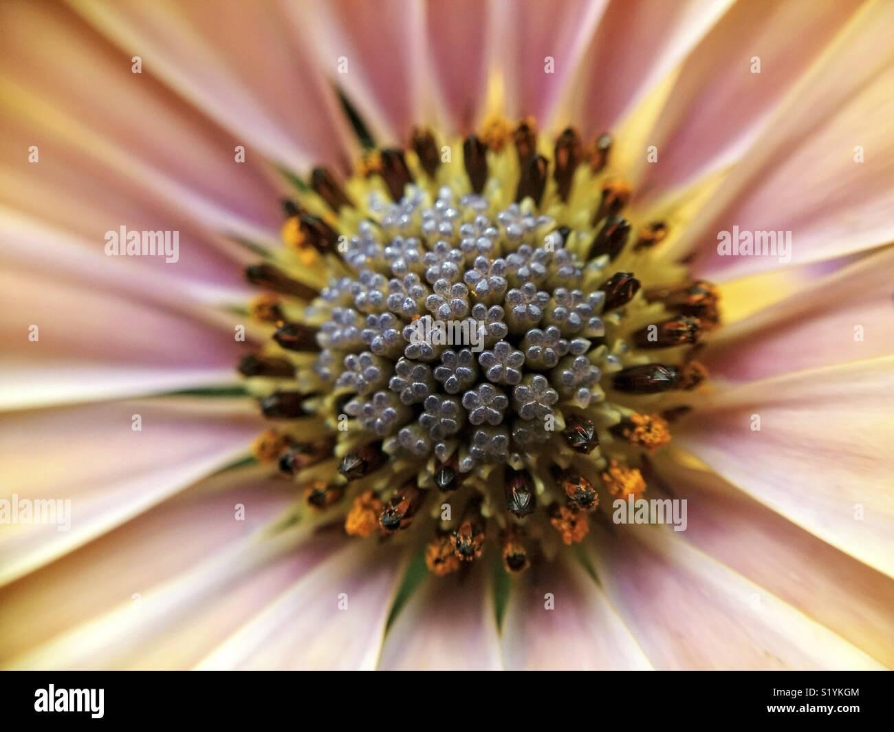Centro de margarita africana. Osteospermum. Macro. Imagen De Stock