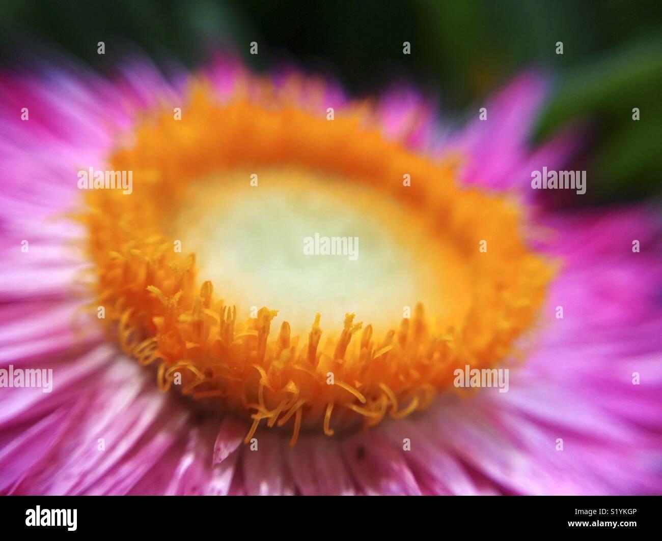 Macro de flor de paja. Helichrysum sp. Imagen De Stock