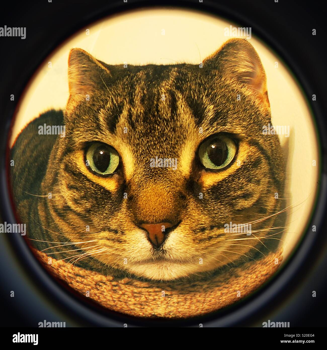 71357fdf2a Orejas cortas gato atigrado lente ojo de pez Foto & Imagen De Stock ...