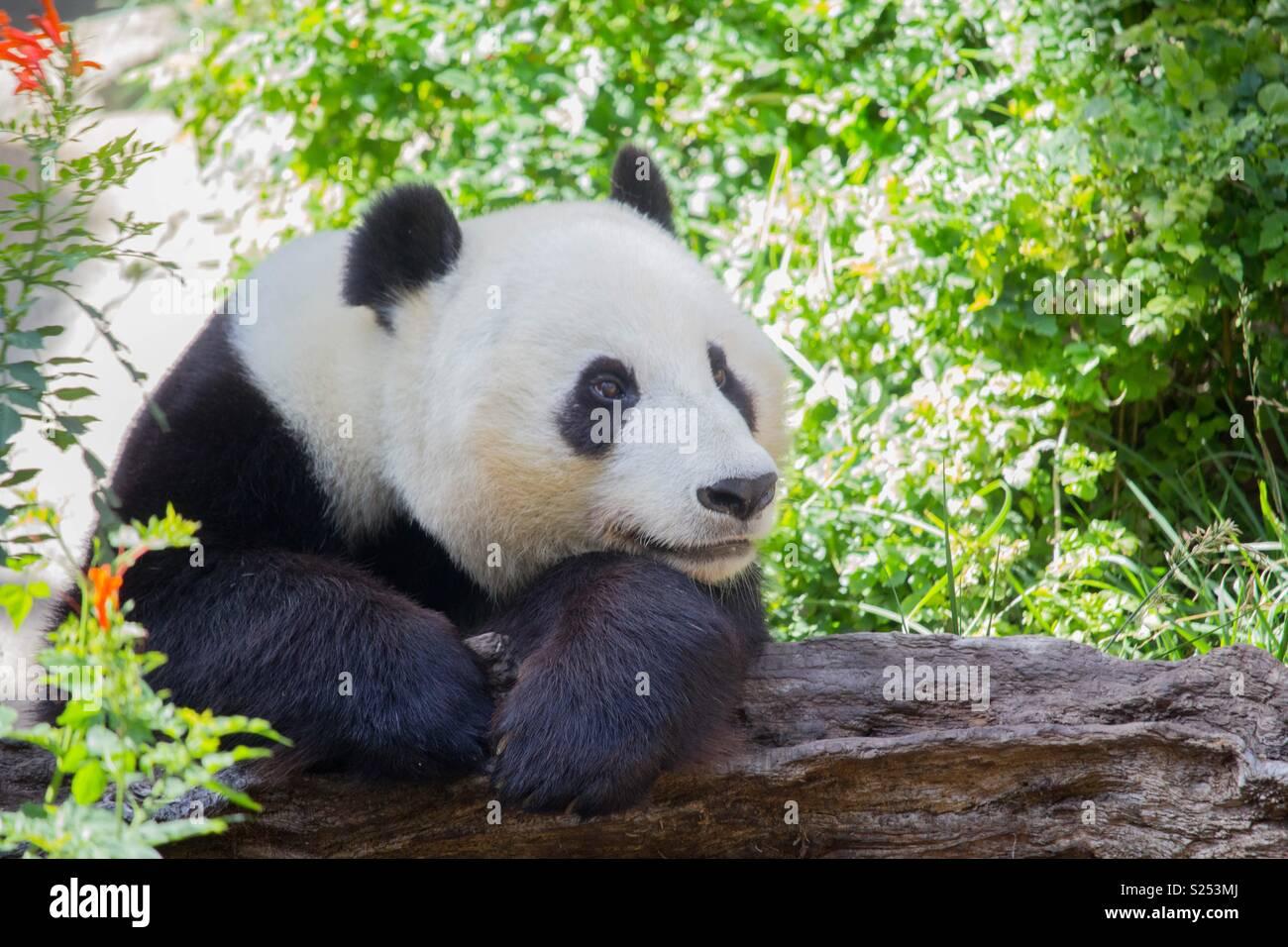 Oso panda Foto de stock