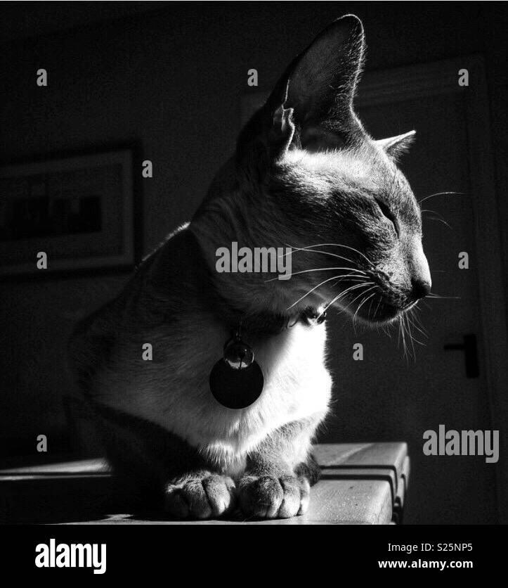 Gato siamés sol Foto de stock