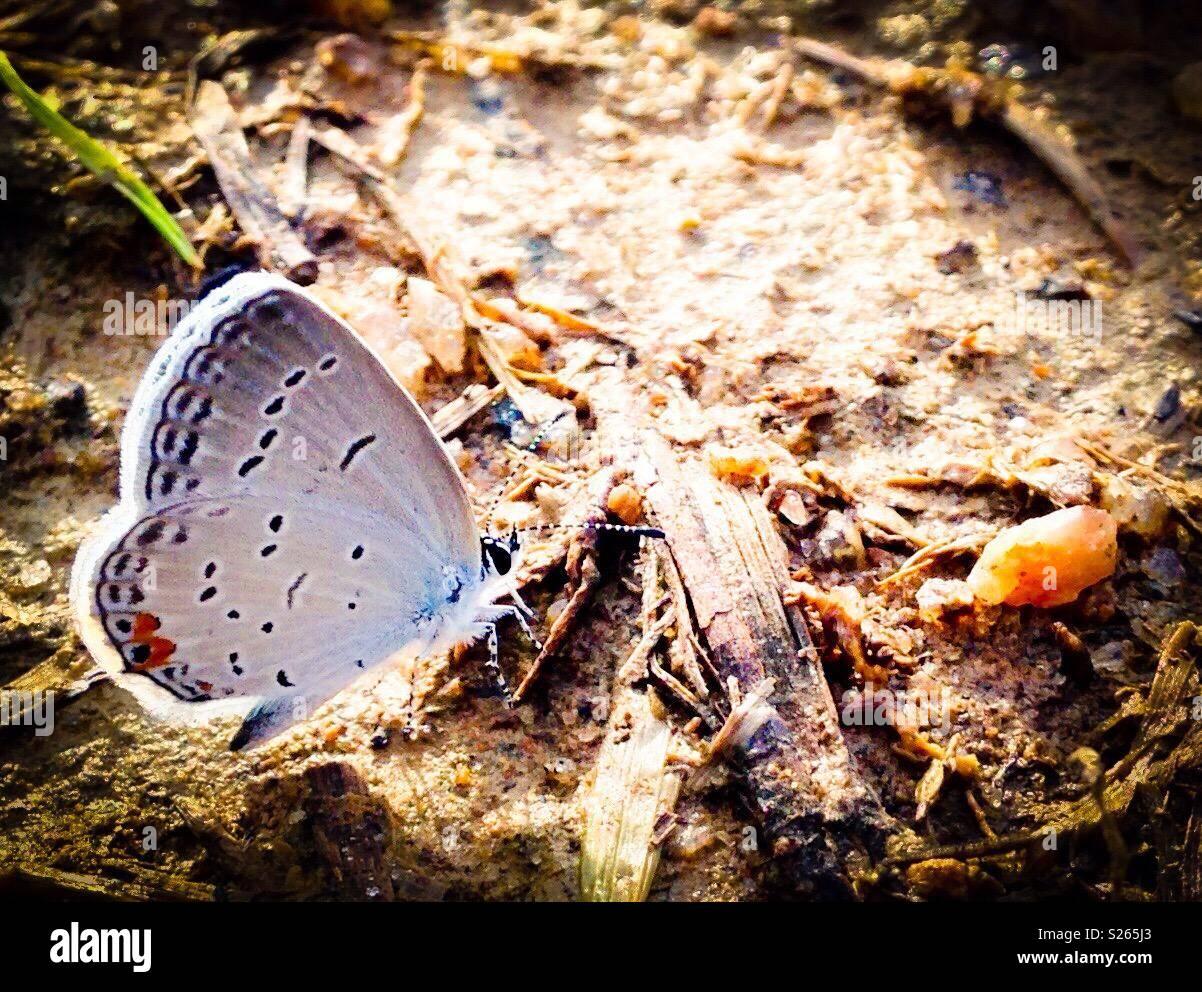 Cupido comyntas mariposa en el campo de Carolina del Norte Foto de stock