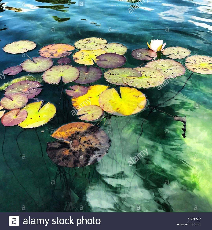 Almohadillas de Lilly flotando en agua de color verde hermoso Imagen De Stock