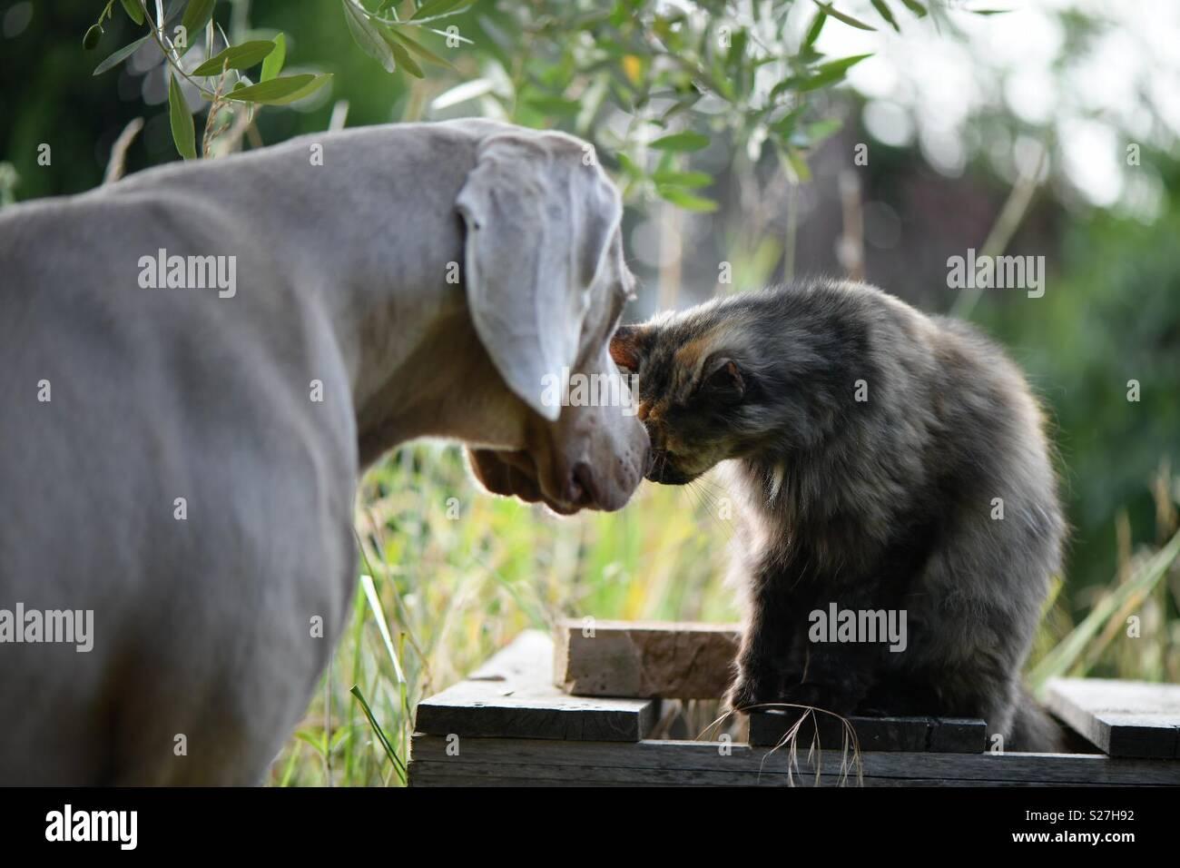 Weimaraner y Cat Mostrando el amor Imagen De Stock