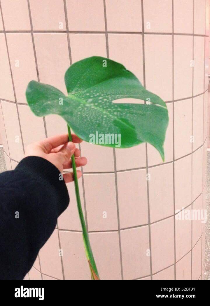 Mano sujetando un verde vívido monstera hojas de planta con un fondo de azulejos de color beige Imagen De Stock