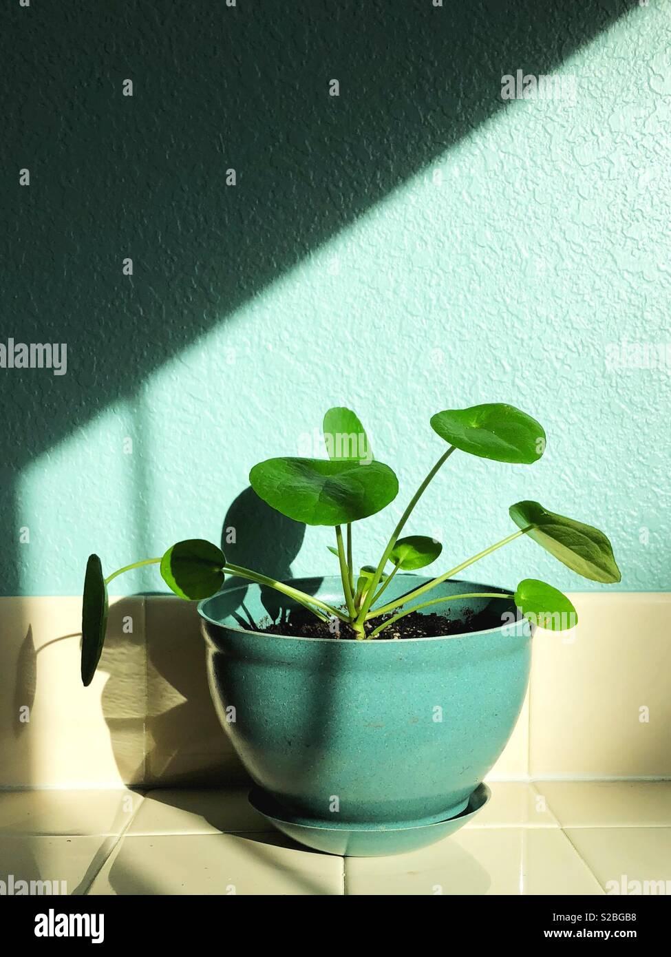 Pilea Peperomioides planta. Imagen De Stock