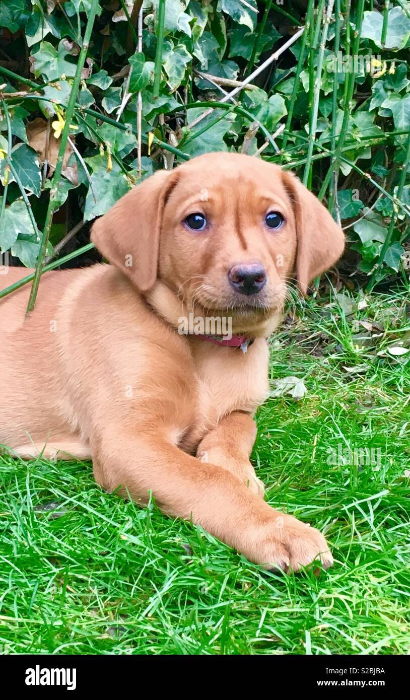Fox cachorro Labrador rojo Imagen De Stock