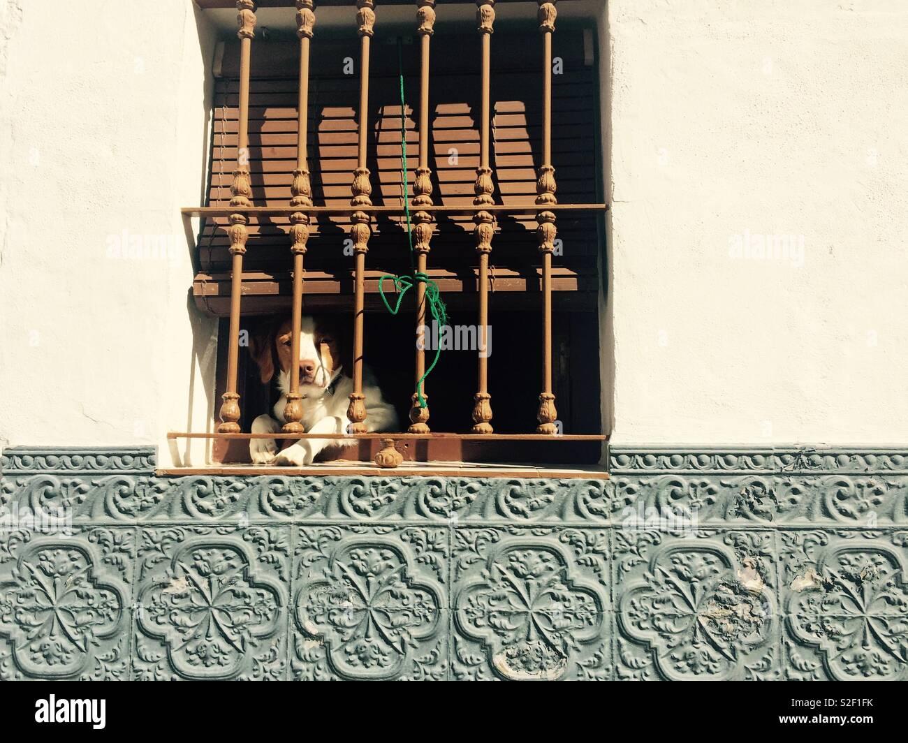 Pequeño perro blanco y marrón se encuentra peeping o mirando a través de rejas decorativas de una ventana en el nivel de la calle en un pueblo de Andalucia España Foto de stock