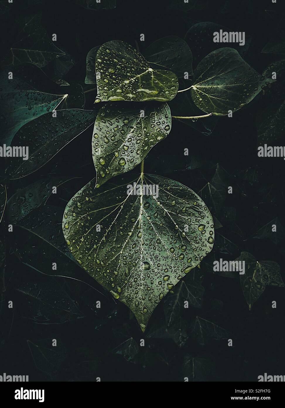 Las gotas de lluvia sobre el verde de las hojas de la planta Foto de stock