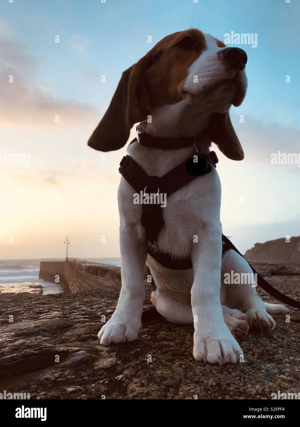 El Bertie Beagle Foto de stock