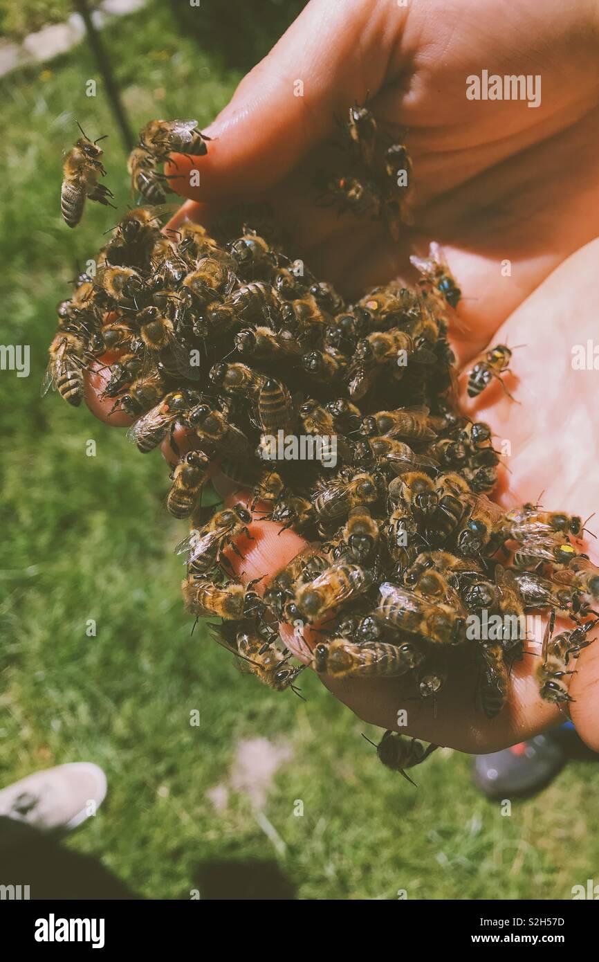Las abejas de la mano humana Imagen De Stock