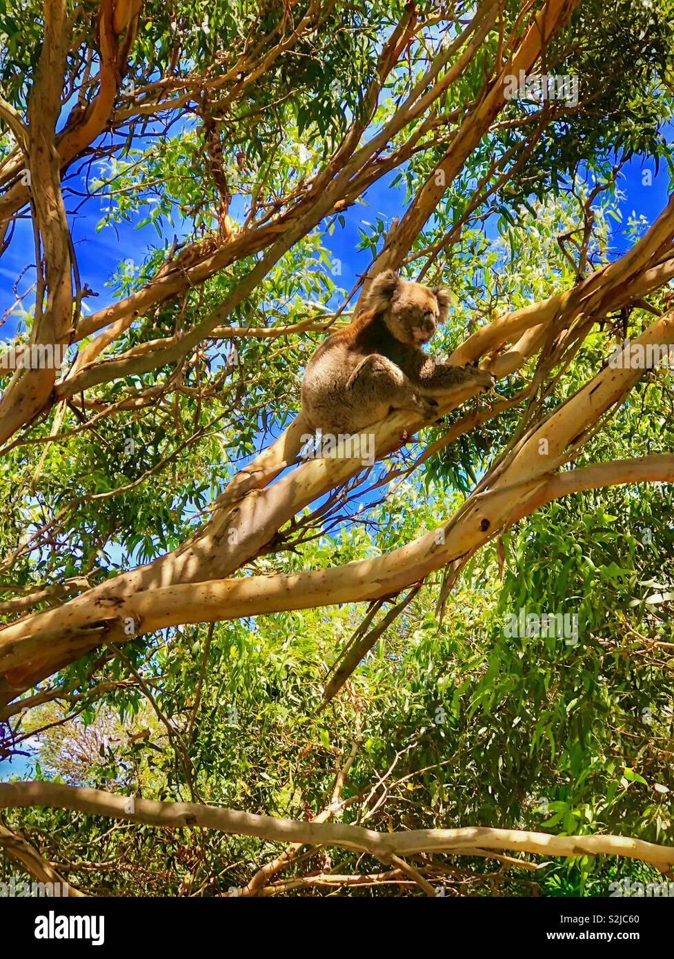El Koala en el árbol. Foto de stock