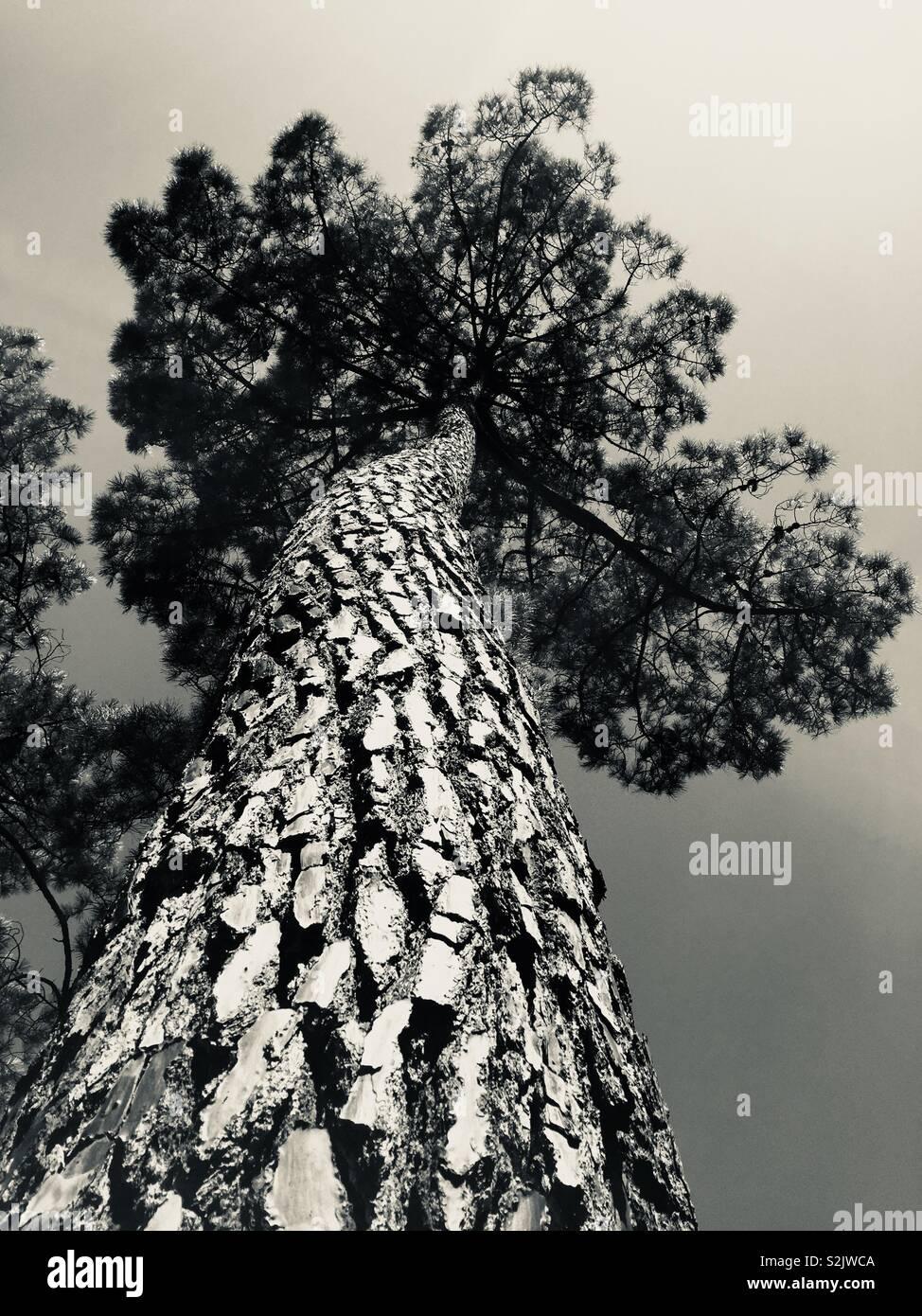 Árbol de pino Imagen De Stock
