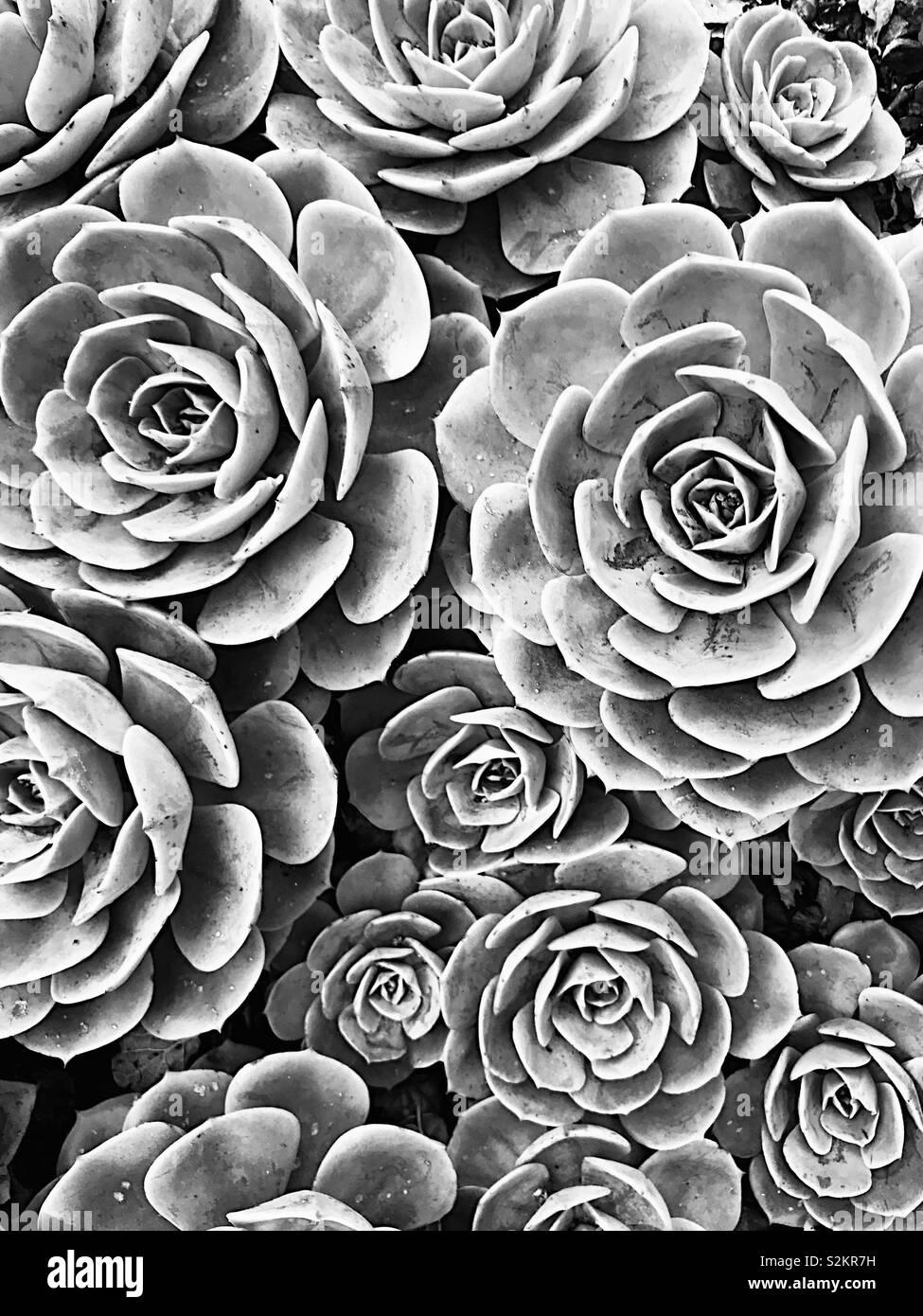 Suculentas en blanco y negro Foto de stock