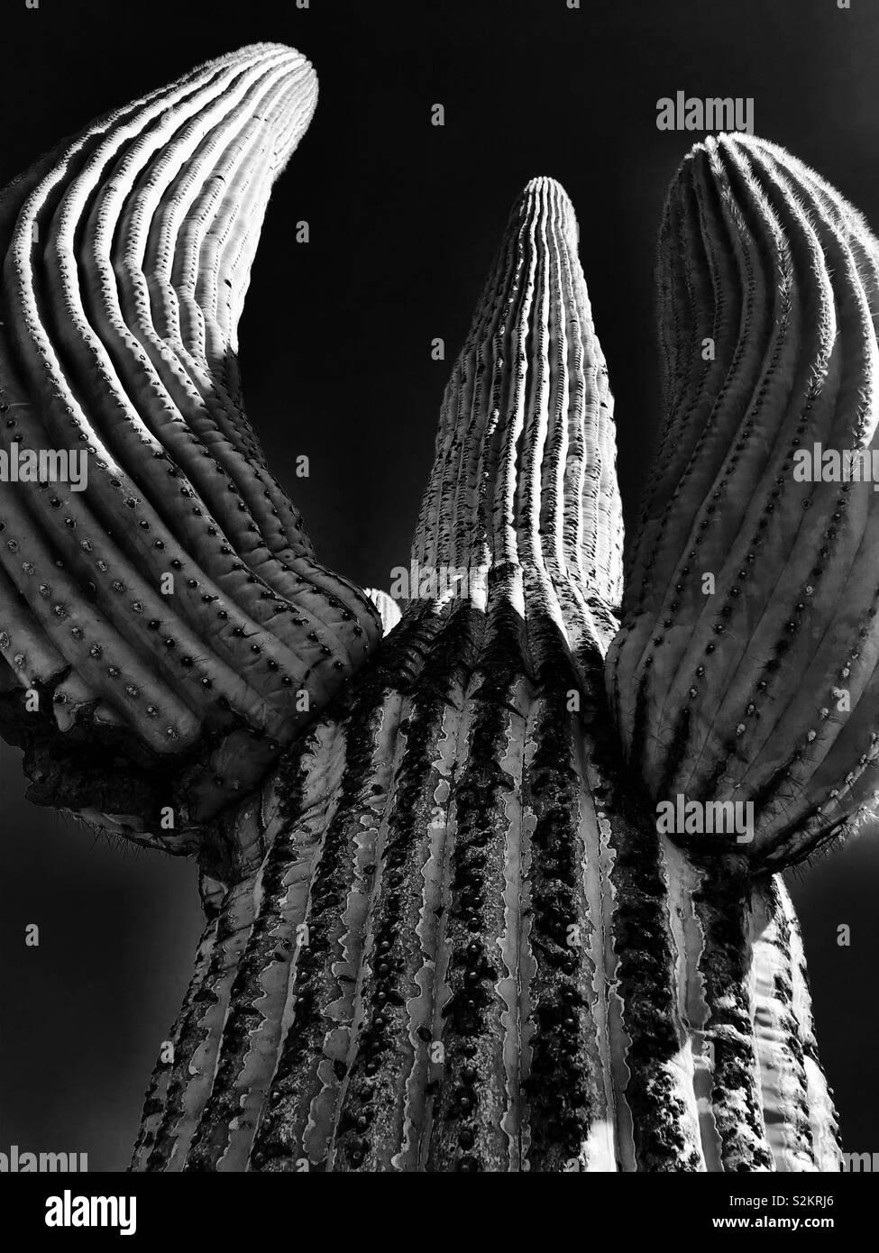 Cacto Saguaro en blanco y negro Foto de stock